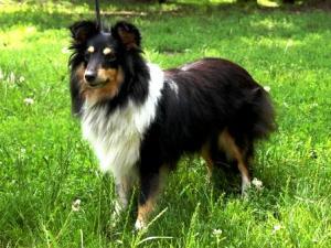 paulshetland-sheepdog-dog-standard-1